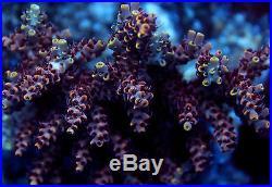 RR Redbull acropora SPS coral